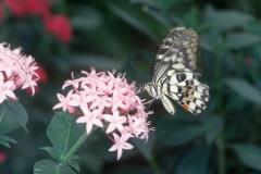 Papillons_105