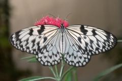Papillons_109
