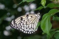 Papillons_111