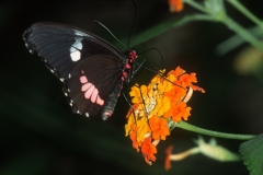 Papillons_209