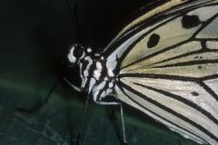 Papillons_211